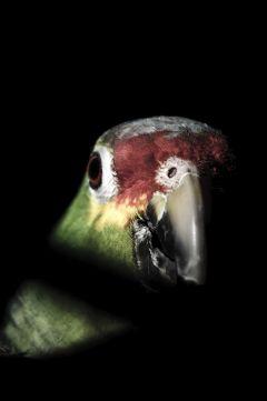 pets & animals pedro bird parrot