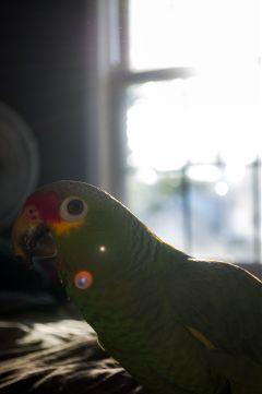 pets & animals parrots bird pedro