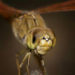 macro macroart nature animals dragonflies