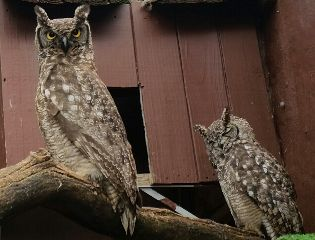 owl wildlife africa travel animals